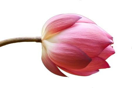 beautiful lotus On a white background photo