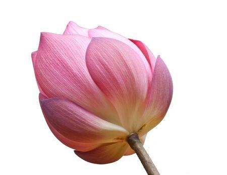 beautiful lotus On a white background Stock Photo - 15539027