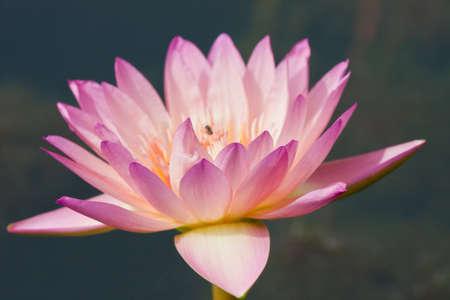 beautiful lotus In the pool Stock Photo