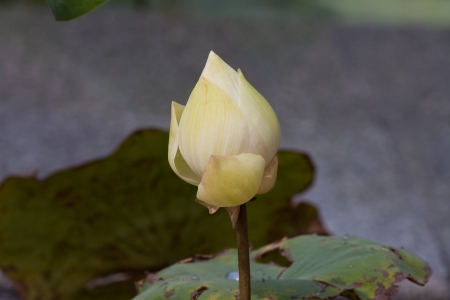 beautiful lotus In the pool Stock Photo - 15801066