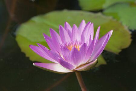 beautiful lotus In the pool Stock Photo - 16663100