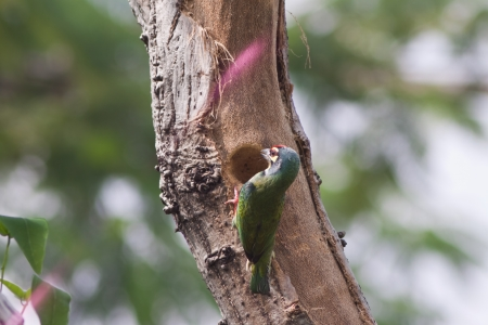 Coppersmith Barbet Bird nests photo