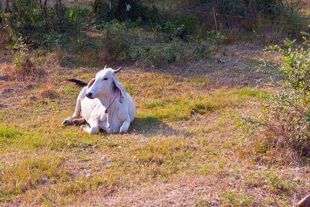 Cow Thai photo