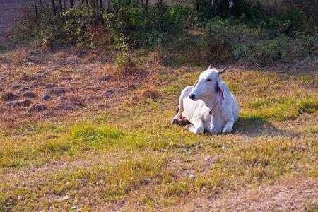 Cow Thai Stock Photo - 17157162