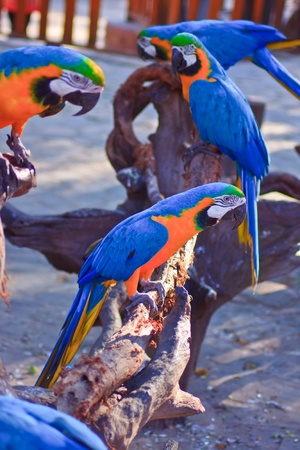 Blue-and-yellow Macaw  photo