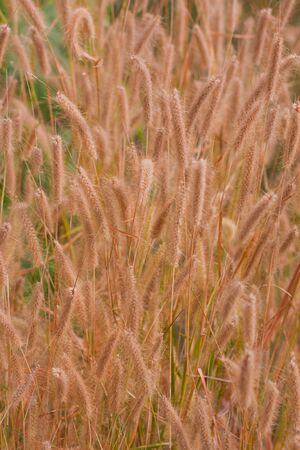 Purple Fountain Grass in windy photo