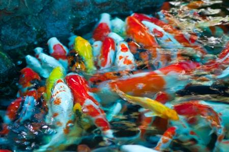 koi fish swimming in the pond photo