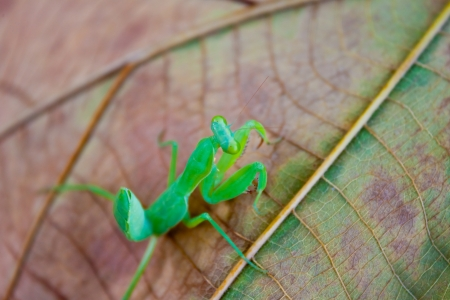 mantis On the leaves photo