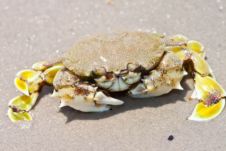 land shell: crab on the sand  Stock Photo
