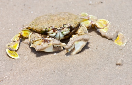 Hermit crab in its conch on the sand  photo