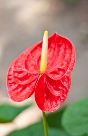 spadix:  anthurium flower