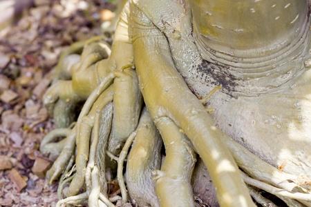 centenarian: Root of bonsai tree.