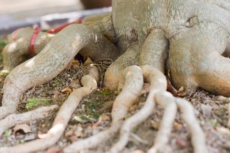 Root of bonsai tree.  photo