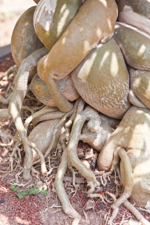 centenarian: Ra�z del �rbol de los bonsai. Foto de archivo