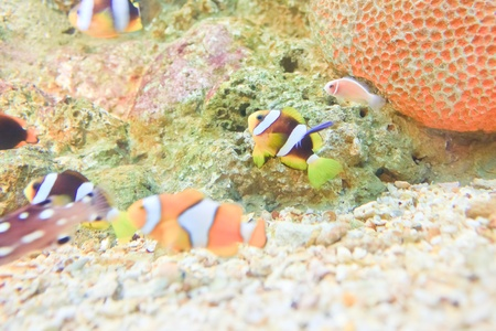 ocellaris clownfish:  anemonefish in the aquarium of Rayong province,Thailand
