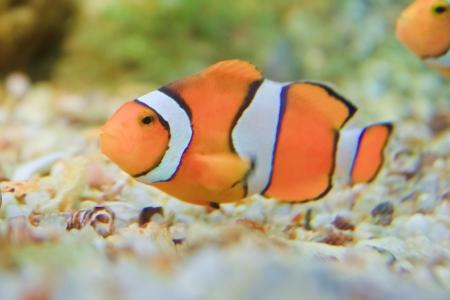 ocellaris:  anemonefish in the aquarium of Rayong province,Thailand