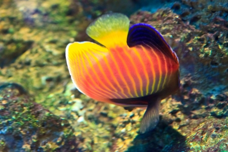 anemonefish in the aquarium of Rayong province,Thailand photo