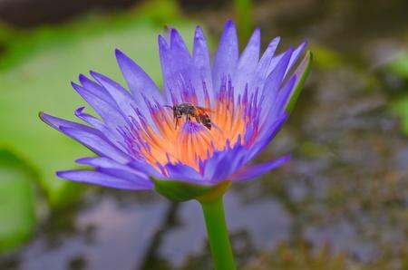 beautiful lotus Stock Photo - 19726274