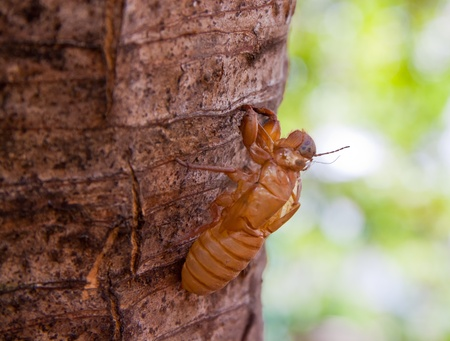 Cicada Shell en el ?rbol photo