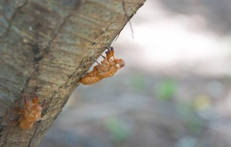 Cicada Shell on tree photo