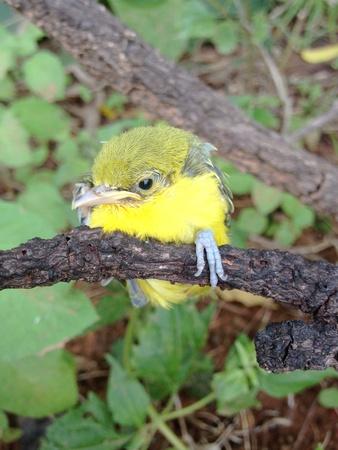 Flapper Striped Tit-Babbler In nature.