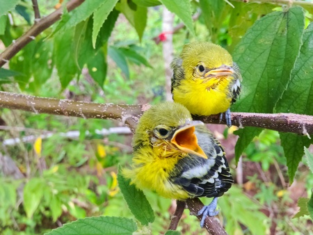 Flapper Striped Tit-Babbler In nature