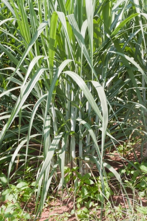 Sugarcane  photo