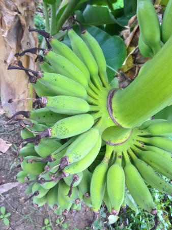 unblemished: banana  Stock Photo