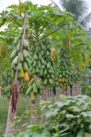 papaya tree: papaya trees Stock Photo