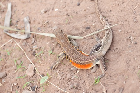 Ground lizard photo