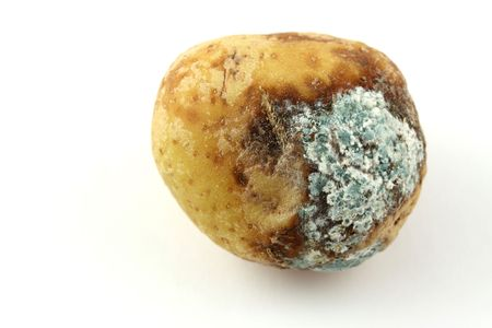 rotten: infected potato with mold Stock Photo