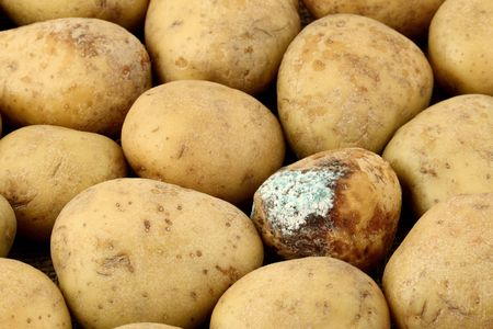 epidemic: infected potato in group with healthy potatoes