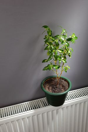 independent: blooming plant on the radiator - independent home heating concept
