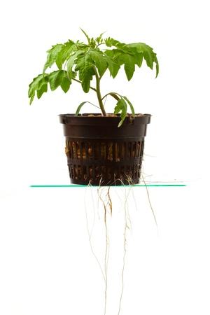 profiting: pianta di pomodoro giovani con le radici, isolata on white