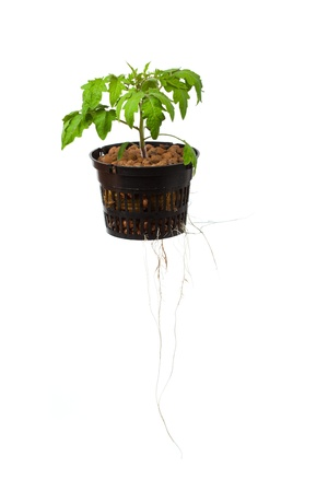 young tomato plant with roots, isolated on white photo