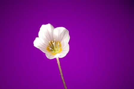 oxalis flower on purple background Stock Photo - 9568774