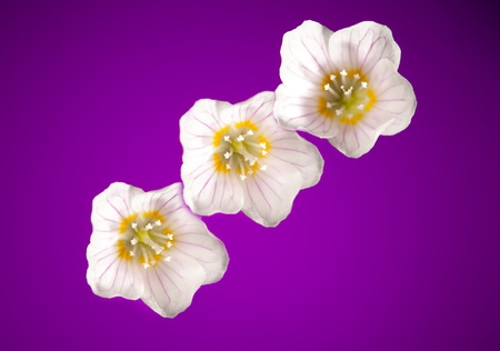 oxalis flowers on purple background Stock Photo - 9568793