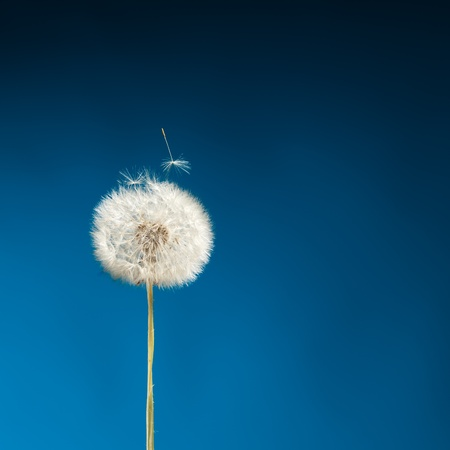 dandelion on blue photo