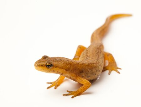 the reptile: newt isolated on white Stock Photo