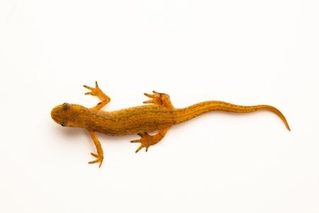 salamandra: Newt aislado en blanco Foto de archivo