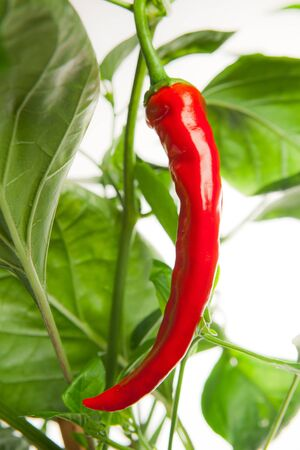 bush pepper: red chili pepper on the plant