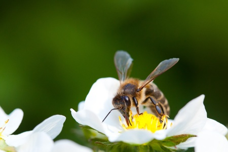 busy bees: Working bee on the strawberry flower Stock Photo