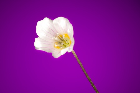 oxalis flower on purple background photo