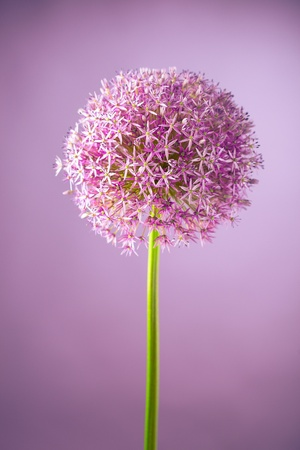 Purple alium onion flower, studio shot photo
