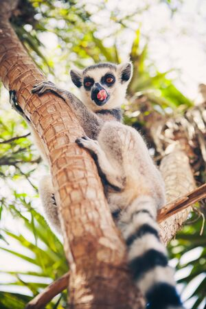 Ring-tailed lemur on the tree photo
