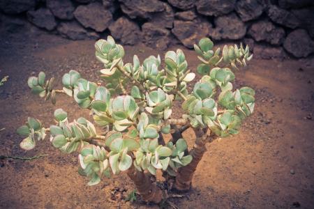 crassula: crassula plant