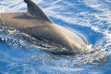 pilot whale in the ocean photo