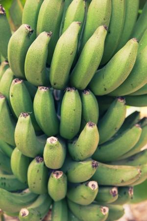 bunch of young green bananas photo