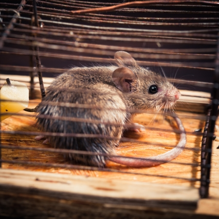 mousetrap: mice caught in the cage mousetrap (set free afterwards)