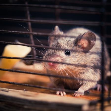mousetrap: topi catturati in trappola per topi gabbia (rimesso in libert� dopo)
